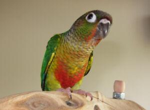 baby friendly yellowside conure parrot for sale