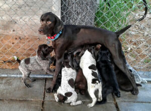 Pointer Adopt Dogs Puppies Locally In Canada Kijiji Classifieds