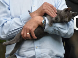 Missing 1.5 year old small female grey cat.