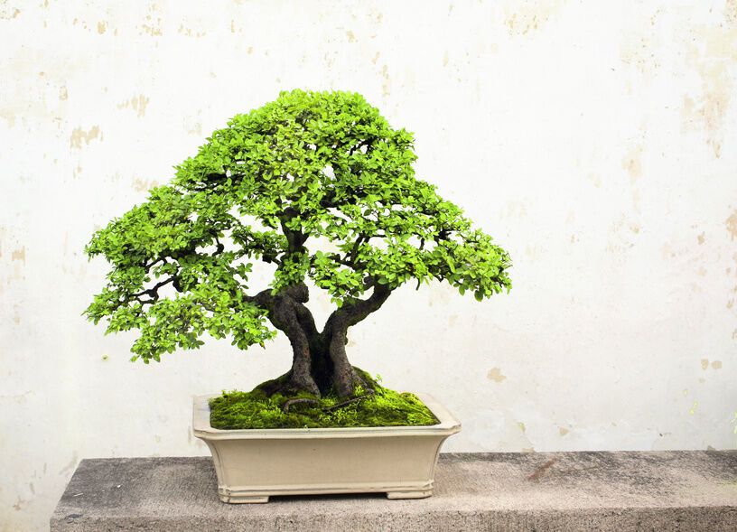 how to choose a pot for your bonsai tree ebay. Black Bedroom Furniture Sets. Home Design Ideas