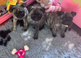 Stunning Litter Of Pug Puppies