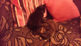 2 very fluffy kittens black and ginger is female and black is male 10 weeks ready for new homes now!