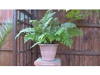 Fern: Large approx. 3x3ft