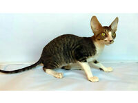 Cornish Rex kitten is looking for new home