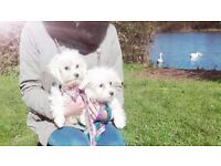 Maltese puppies, boy and girl available now