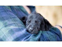 Labrador cross Springer Spaniel (Springador) Puppies for sale
