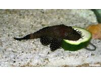 Bristle nose pleco Fish