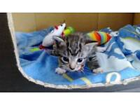BEAUTIFUL KITTENS READY IN 2 WEEKS REDUCED DUE TO BEREAVEMENT
