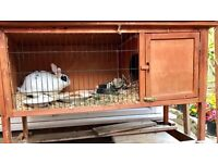 Male house rabbit for sale