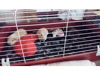 Guinea pig / rabbit cage ferplast 100