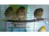 4 Baby canaries