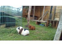 Female guinea pig