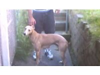 italian greyhound x whippet for sale