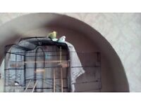 2 paired budgies need re-homing ASAP including cage.
