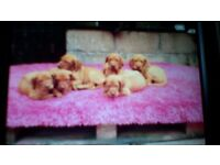 Hungarian Vizsla puppies for sale