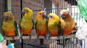 Sunday Conures - Hand Raised Belair Mitcham Area Preview