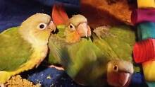 Gorgeous Hand Reared Pineapple Conures Belair Mitcham Area Preview