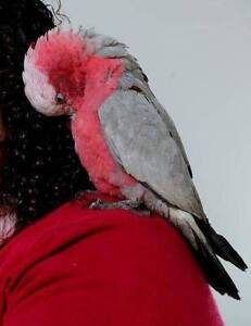 Gorgeous Tame Galahs for Sale... Love Their Cuddles! Sydney Region Preview
