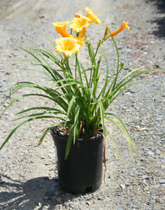 Hemerocales jaunes Stella d oro plantes vivaces perennials