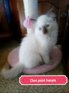 Ragdoll kitten (1LEFT)