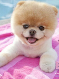 Looking for a Pomeranian miniature bear face puppie
