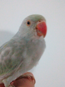 BABY RINGNECK FOR SALE