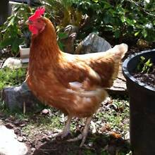 !!! Friendly, Productive Isa-Brown Laying Hens for Sale !!! West Pennant Hills The Hills District Preview