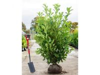 Instant evergreen hedging plants