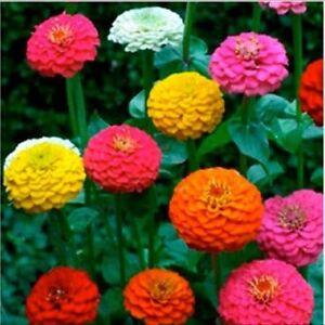 FLOWER ZINNIA LILLIPUT MIX 3 GRAM ~ APPROX 465 FINEST SEEDS