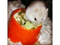 Belle, female Dwarf Hamster