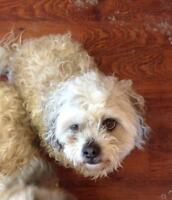 "Senior Male Dog - Bichon Frise-Shih Tzu: ""Peanut"""
