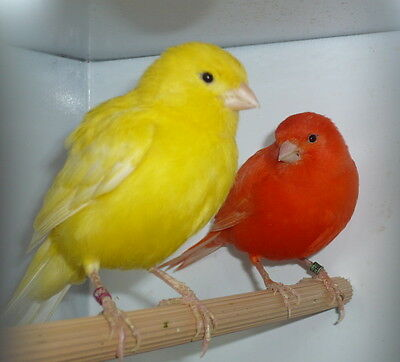 NEW SUPER BIRD MELODY SONG CANARY TRAINING CD MY BEST BIRD