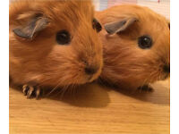Guinea pigs and two hutches £60