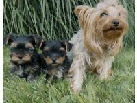 Yorkshire Terrier hypo allergenic puppies