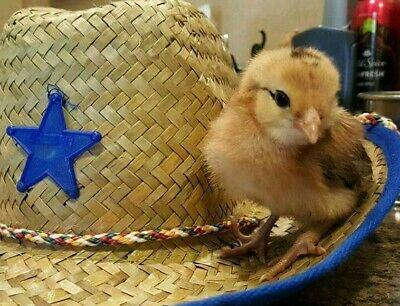6 Americanas Ee Fertile Hatching Chicken Eggs