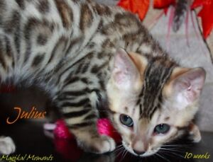 Bengal kittens ready in 1 week! Purebred/registered!