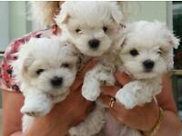 All reserved. Cute, gorgeous Maltese puppies. Ready to leave week!
