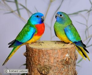 Scarlet Chested parrots