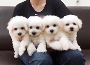 Hypoallergenic Bichon Frise Puppies (non shedding)