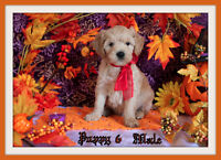 Mini-GoldenDoodle F1 Puppies