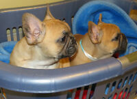 Registered French Bulldog puppies- Health Tested Champion Lines
