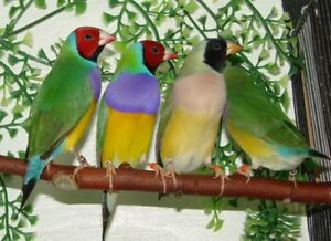 Male and female gouldian finches