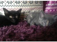 2 beautiful kittens ready to leave *MUST GO TOGETHER £160 for BOTH*