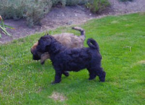 Whoodles!!  Soft Coated Wheaten Terrier x Poodle