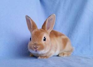 Low Allergy Xmas Mini Rex Rabbit Babies - Soft as velvet Joondalup Joondalup Area Preview