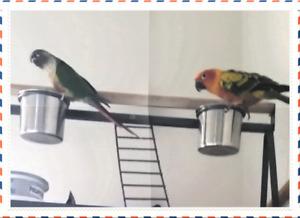 Deux conure mâle avec accessoires(petit perroquets)