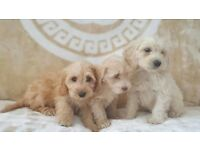 Cockapoo puppies ready now gold fox red or white pra clear