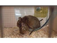 2 male degus with accessories £50