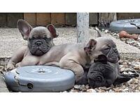 READY 4 left !!! Fabulous french bulldog puppies 2 solid blue boys & 2 fawn blue boys
