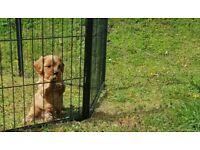 Caverchon pups